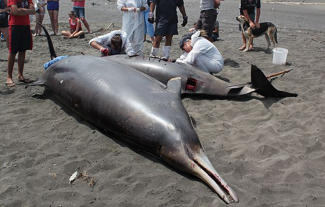 Researchers perform autopsy on a stranded beaked whale.